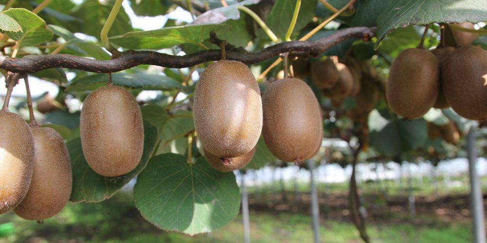 Galicia es la principal productora de kiwi de España